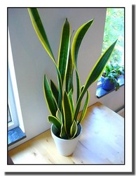 Mother in Law's Tongue or Sansevieria